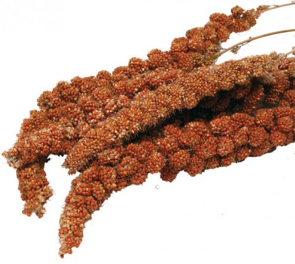 Kolbenhirse französisch Rot